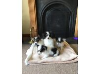 Beautiful Male Papillon Puppies for sale