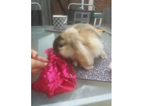 GIANT FRENCH LOP BABIES 1 BOY LEFT