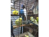 Budgie for sale
