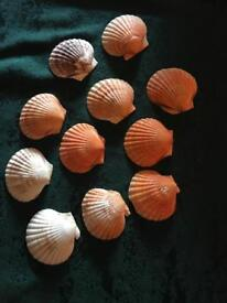 Shells for making gifts or for decoration