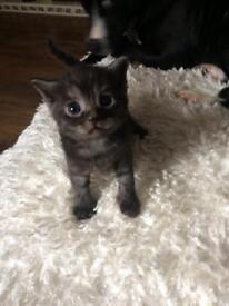 6 British short hair kittens