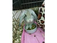 Mini Lop Rabbit (Buck)