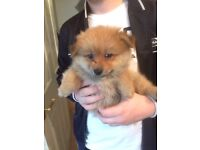 1 Gorgeous Pomeranian from a litter of 6