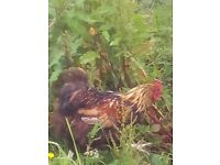 STILL AVAILABLE GOLD LACED ORPINGTON MALE 1 YEAR OLD IMMPRESSIVE BIRD