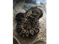 Royals pythons