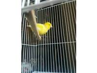 Canary and cage