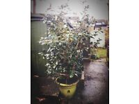 Camellia tree/bush 1.7m tall £50