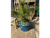 Large palm plants (pots not included)