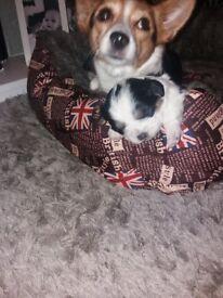 Beautiful fluffy chunky Chihuahua x shihtzu puppy