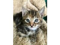 6 Bengal Mixed Kittens