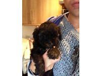 Toy Lhasa poo Lhasa toy poodle X Lhasa apso puppies