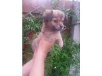 edigree Chihuahua Puppies For Sale
