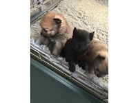 Pomeranian Boy Puppy 8 weeks