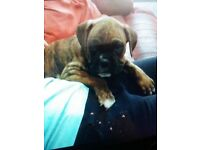 Boxer | Dogs & Puppies for Sale - Gumtree