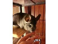 Pair of male chinchillas with large cage and accessories - lovely tame natures