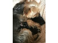 Mini Yorkie puppies for sale