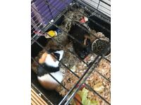 2x 1 year old guinea pigs with 2 tier cage