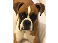 7 month old boxer puppy for sale