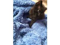 Playful, fluffy kitten