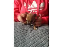 4. Chihuahua puppies for sale