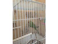 ring net parrot