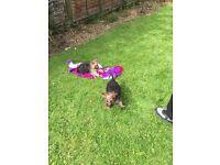 2 German Shepard Puppies Must Go ASAP