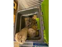 Campbell's Hamsters