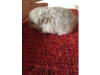 Light grey female baby chinchilla for sale