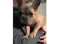 French Bulldog Male 5 month old Carries blue tan and cream. KC reg, vaccinated, microchipped etc.