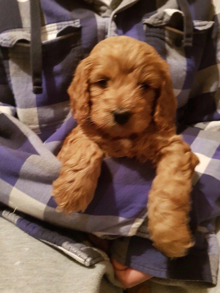 1 Girl left stunning Cockapoo Puppy