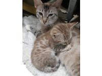 Bengal and snow bengal kittens (available)
