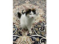 Half Main coone adult female cat