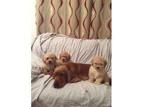 Cockapoo puppies