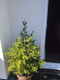 Spruce pine / fir tree