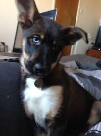 Husky cross puppy for sale