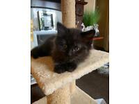 Beautiful Ragdoll X kittens (see description)