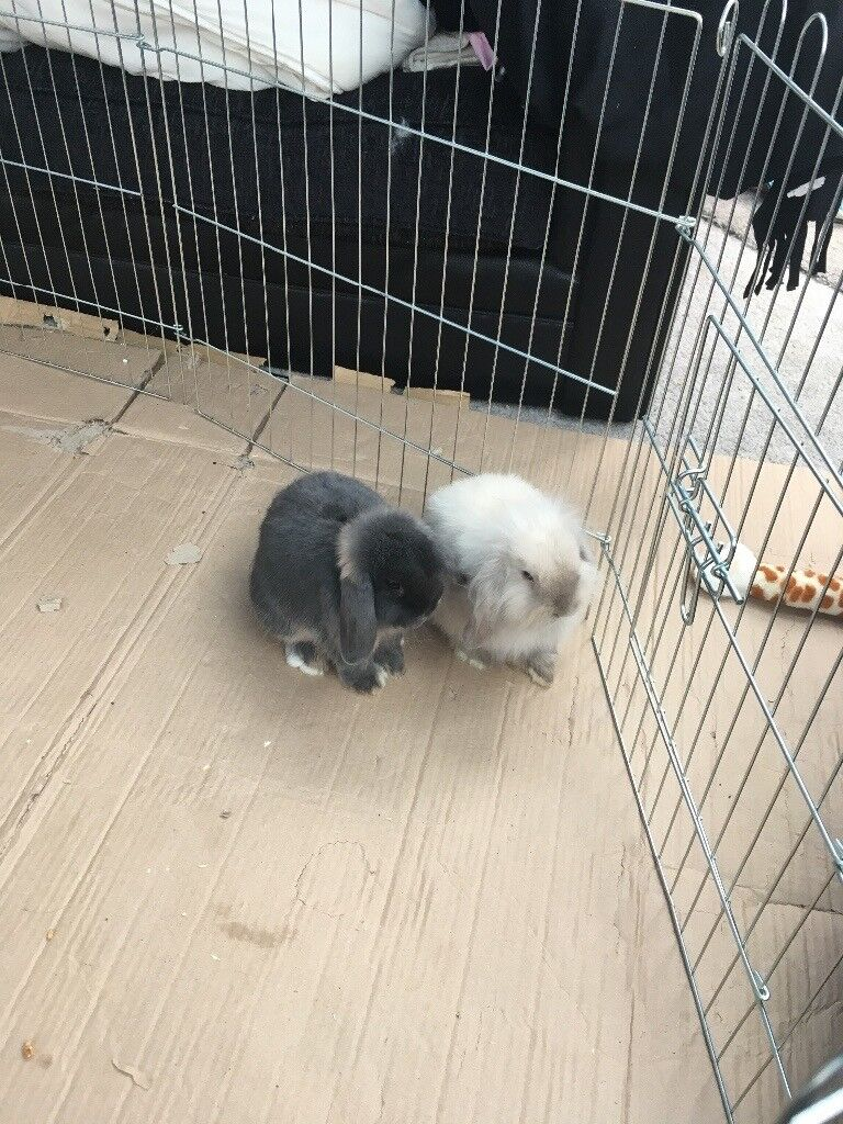 URGENT- Any offer considered- two beautiful mini lop bunny rabbits inc hutch & accessories