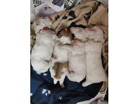 Bichon x Maltipoo puppies ( 1 male, 3 female )