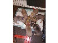 Stunning chunky k.c reg French bulldog pups
