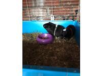 2 male Guinea pig