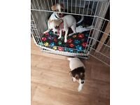 3 chihuahuas for sale 2 girls one boy