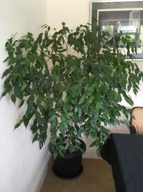 """Very healthy fiscus plant 60"""" tall, 45"""" wide."""