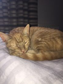 4 month old male ginger cat £30