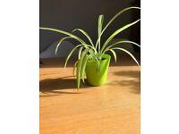 baby spider plant