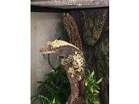 Dolmation Crested Gecko
