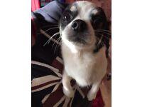 Male Tri-colour pedigree Chihuahua for sale