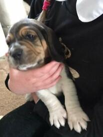 Beagle pup ready to leave