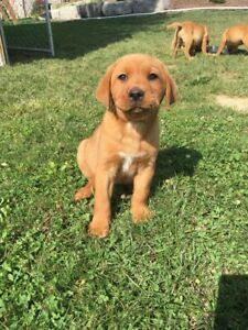Adorable Purebred Fox Red Labs For Sale!
