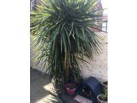 Palm Tree Cordyline Very Large Flourishing Speciman Needs Large Garden .New Photo.Reduced