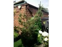 Fir Tree FREE : )